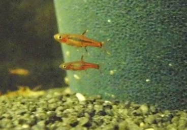 My little forgotten mosquito rasbora and schrimps tank for Mosquito fish facts