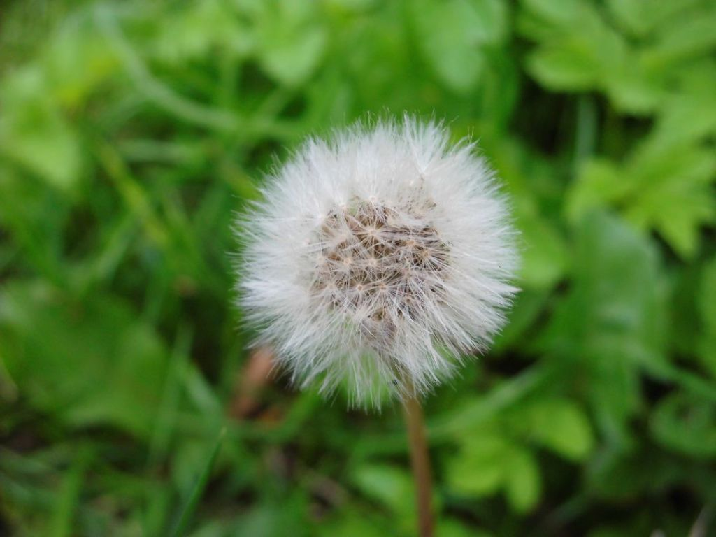 two attempts to photograph a blowball diary of dennis