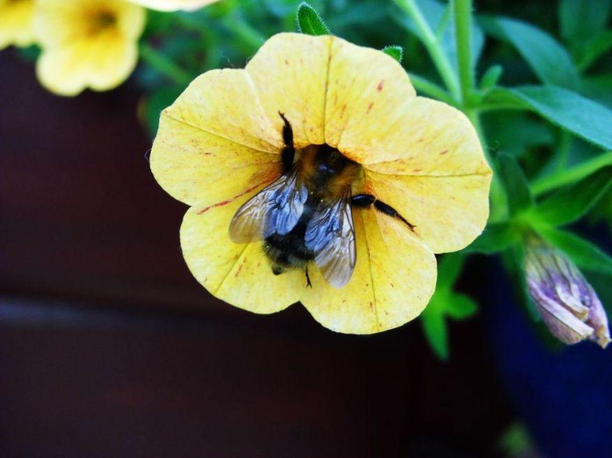 bumblebeeiscollectingpollen