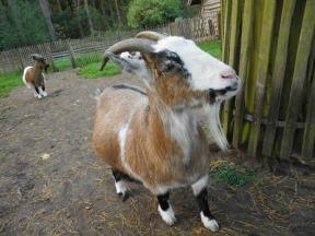 goatsDSCI0391