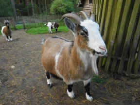 goatsDSCI0392