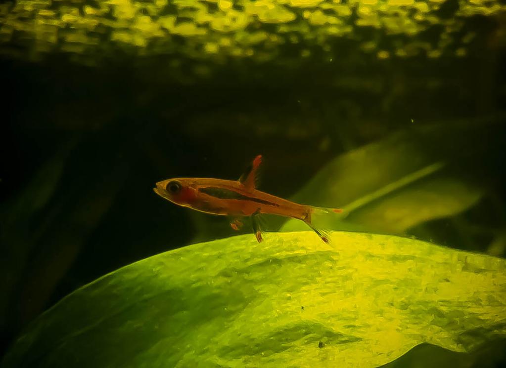 Aquarium fishes introduced: Boraras brigittae – Diary of ...