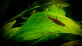 Mosquito Rasbora05
