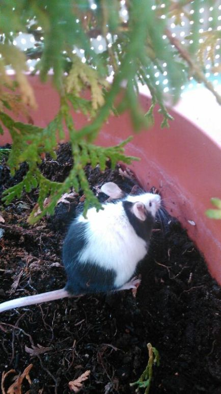 Mouse in the Flower Pot