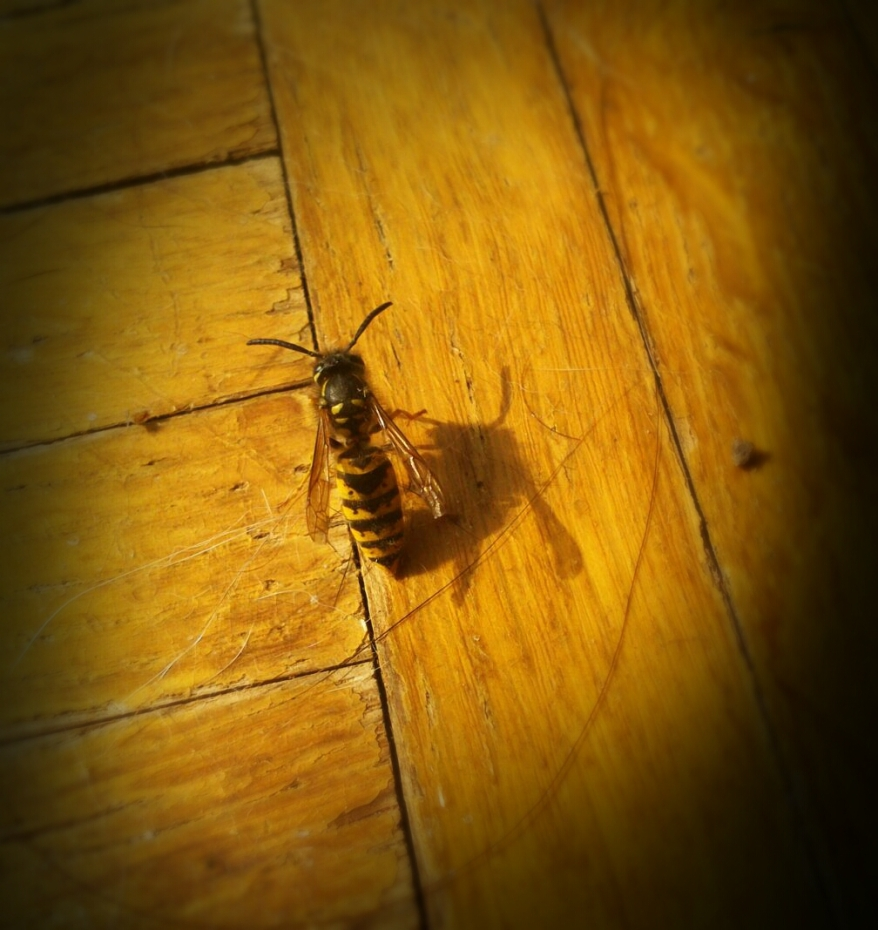A wasp inside in my room