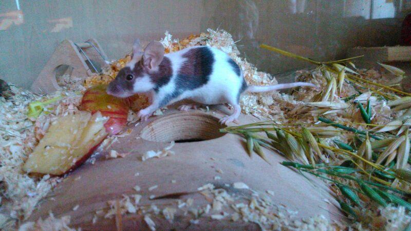 Black White Mouse