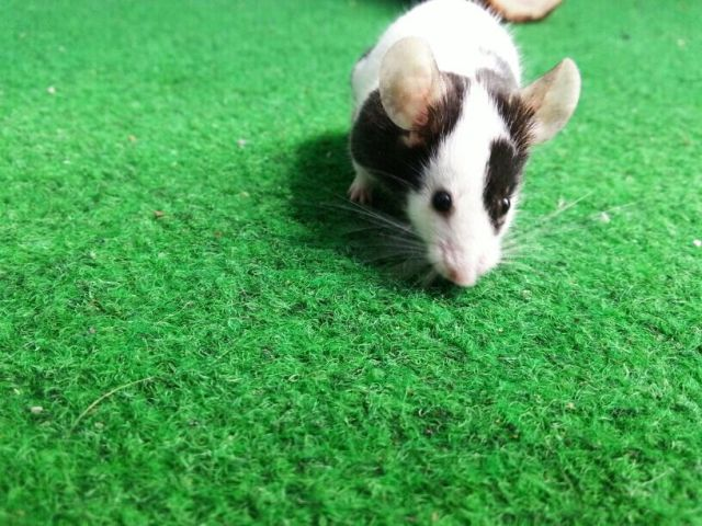 Mouse running on the green carpet