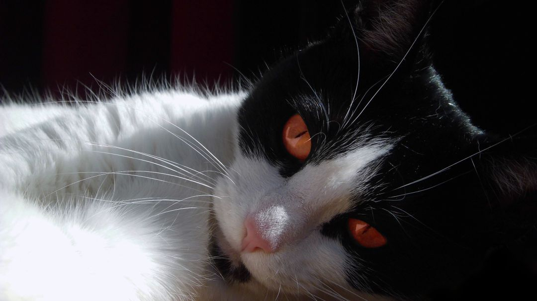 I shot of my cat Shyna  White Cats With Red Eyes