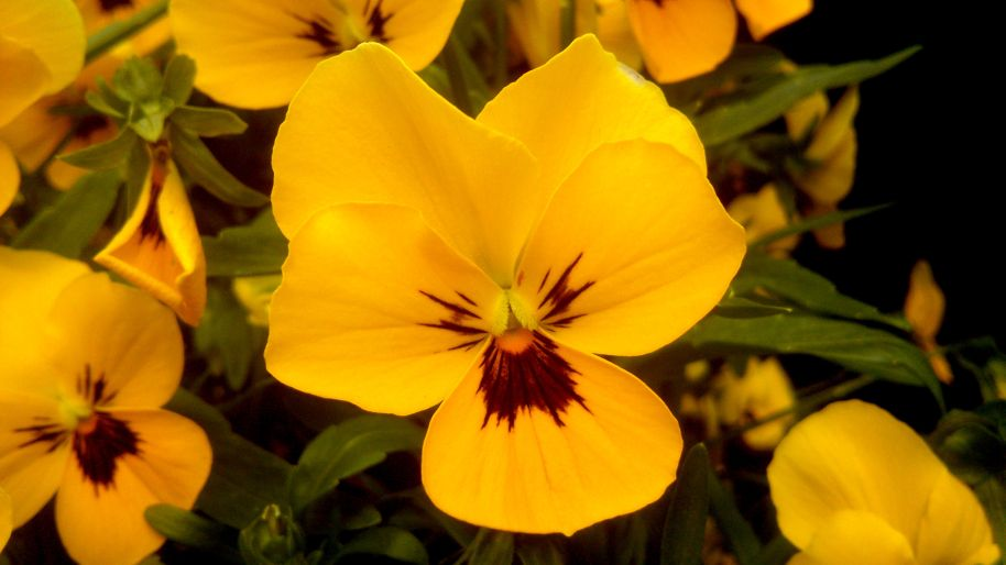 Beautiful Yellow Pansy Flower Diary Of Dennis
