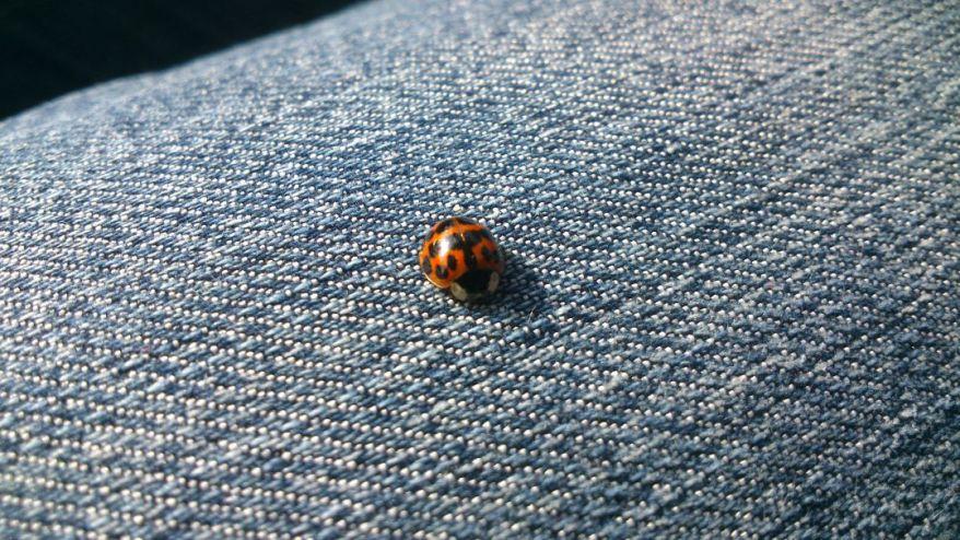Ladybug on a Jeans