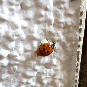 Ladybug On The White Wall