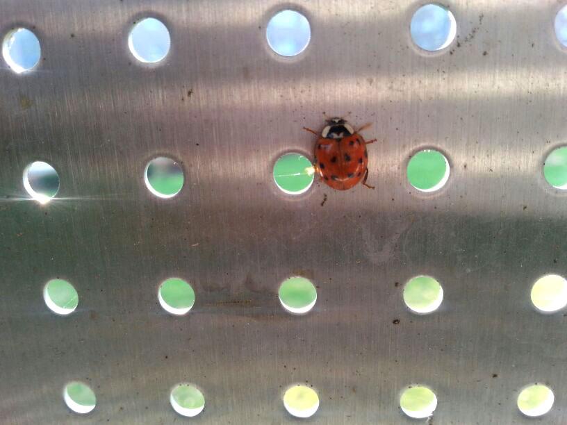 Ladybug Photo Again