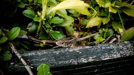 Sand Lizard - Zauneindechse 6