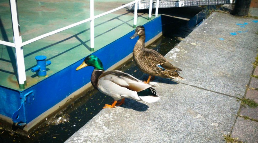 Two Ducks