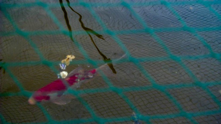 Fishes in the pond 5