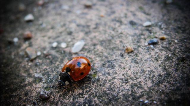 Ladybug On The Pavement