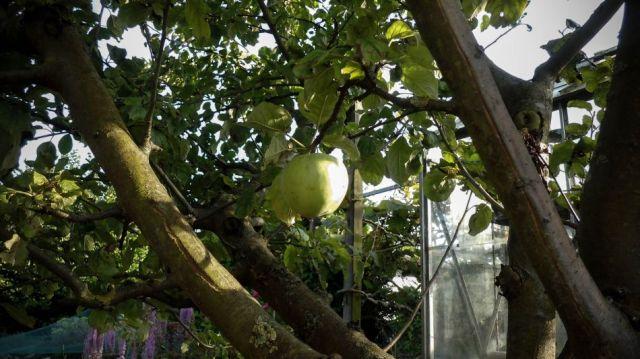 The Apple Tree Story