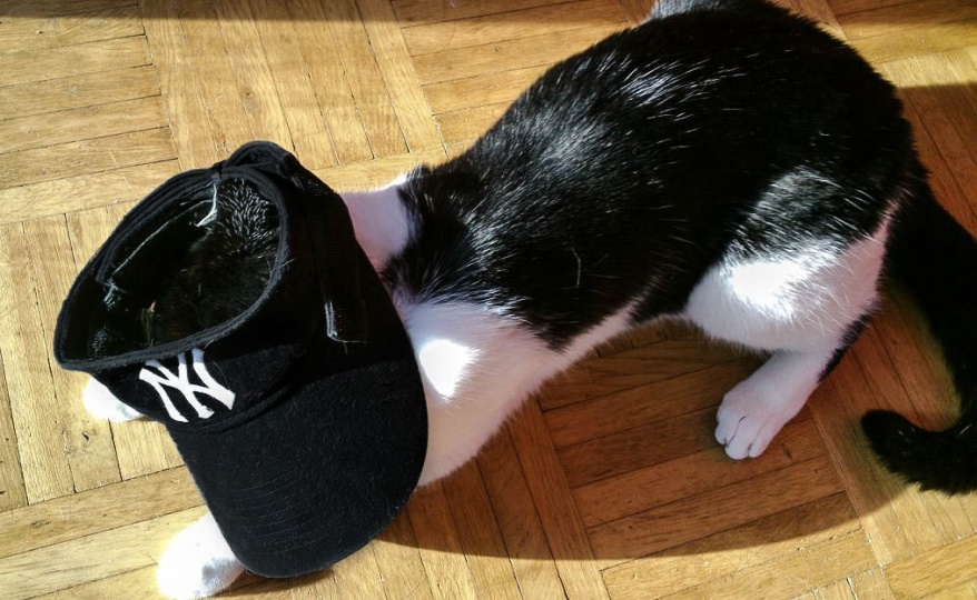 New York Yankees Cat