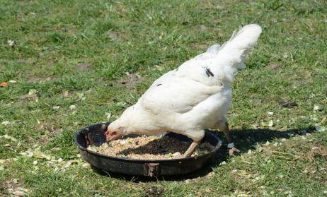 Chicken Photo 1