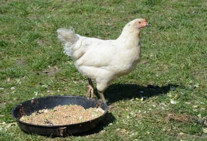 Chicken Photo 3