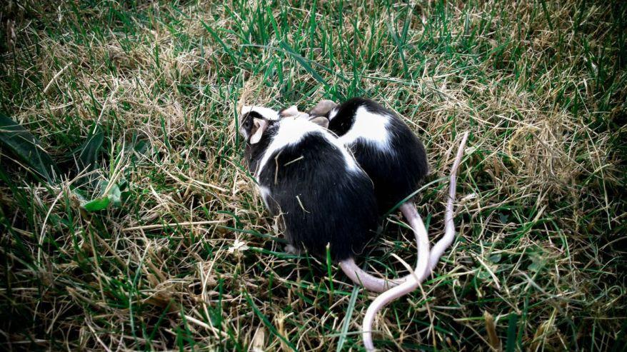 Mice Meeting