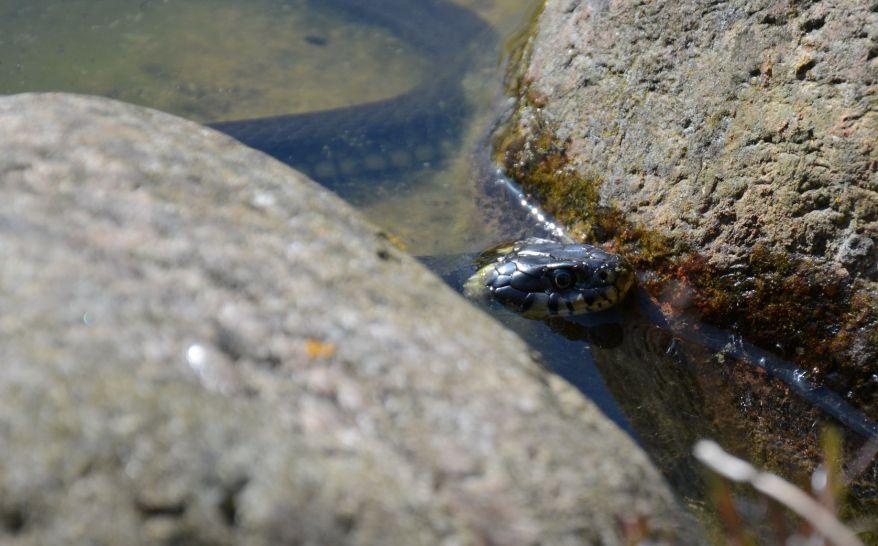 Ringed snake photo cropped