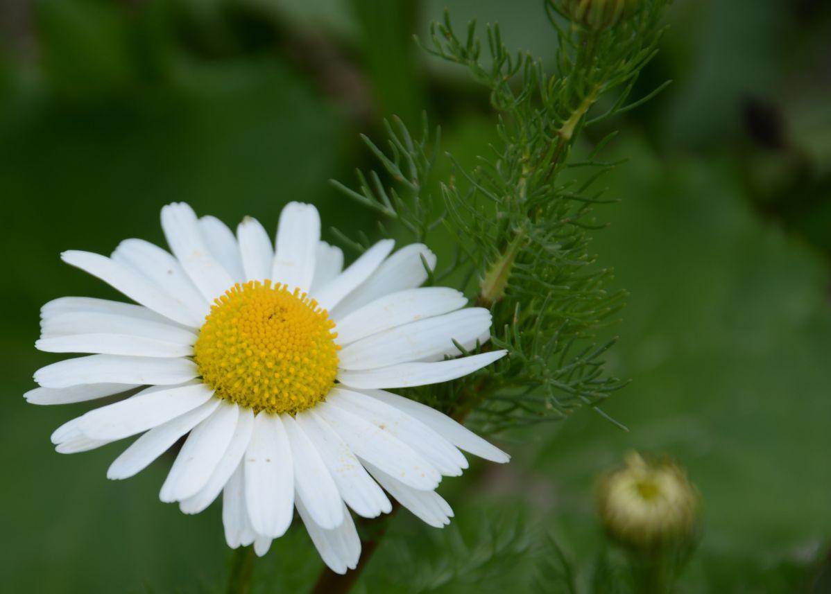 Beautiful daisy diary of dennis beautiful daisy izmirmasajfo