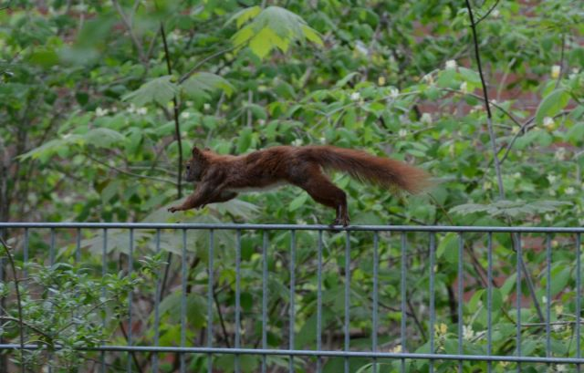 Squirrel running over a fence