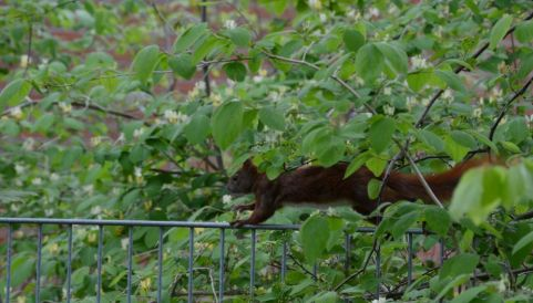 Squirrel starts to run over a fence