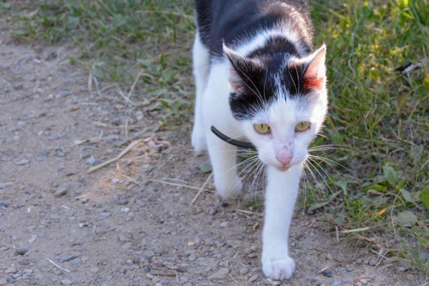 bicolor-cat-1