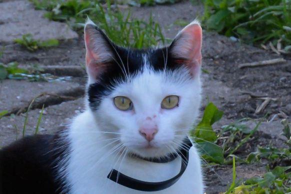 bicolor-cat-2