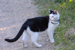 bicolor-cat-3