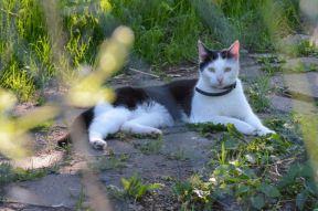 bicolor-cat-4