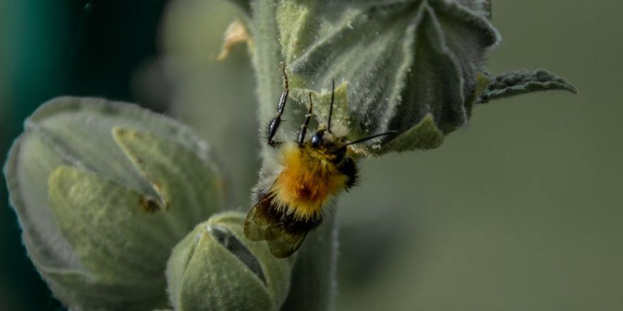Bumblebee working on a plant