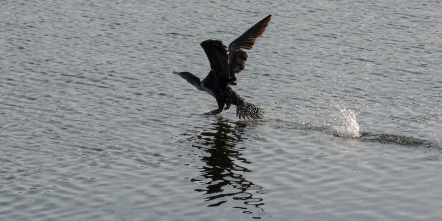 Cormorant take off 01