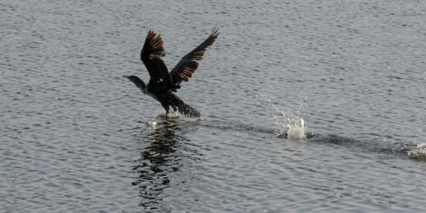 Cormorant take off 02