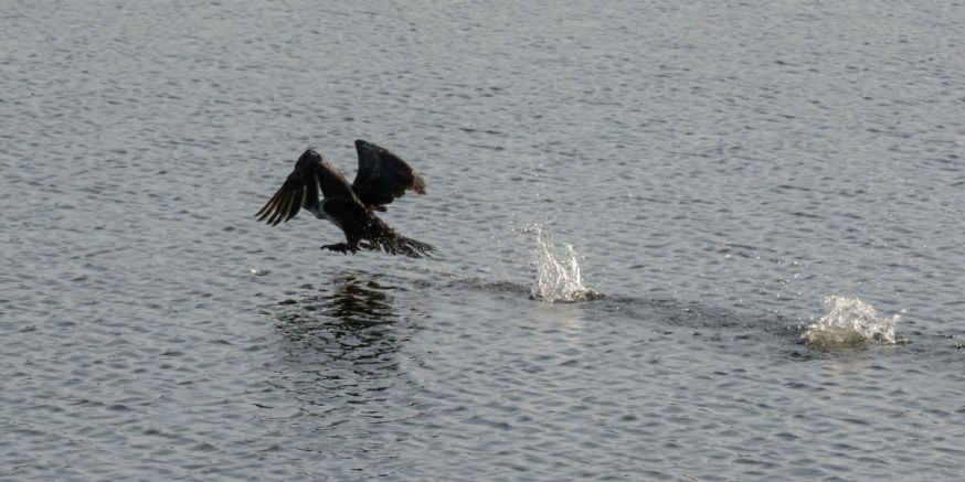 Cormorant take off 03