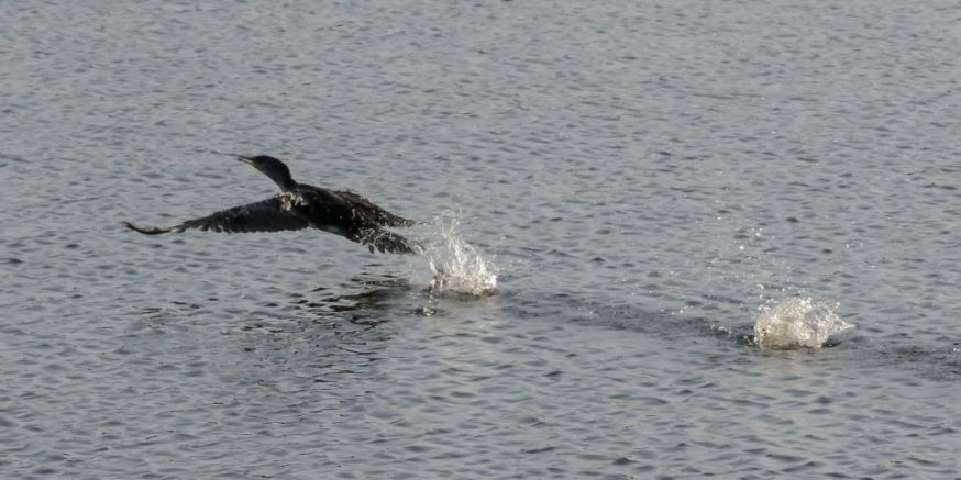 Cormorant take off 04