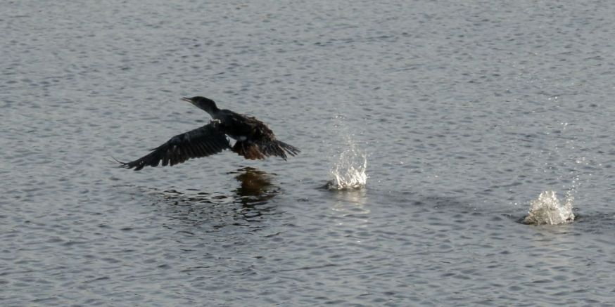 Cormorant take off 05