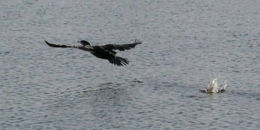 Cormorant take off 06