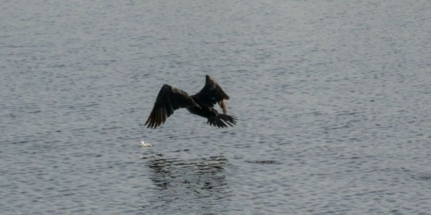 Cormorant take off 07