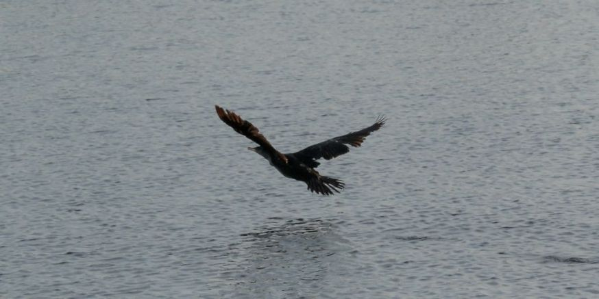 Cormorant take off 08