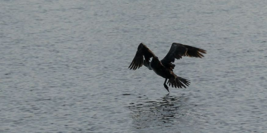 Cormorant take off 09