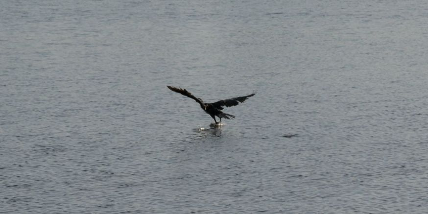 Cormorant take off 10