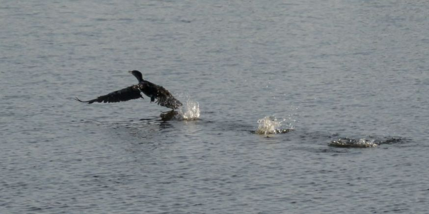 Cormorant take off 11