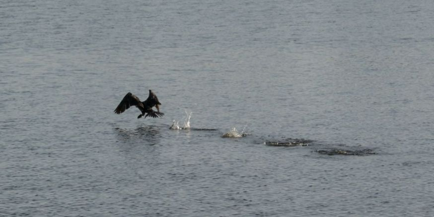 Cormorant take off 12