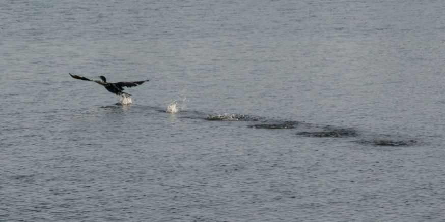 Cormorant take off 13