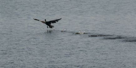 Cormorant take off 16