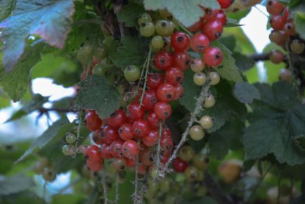Red Currant Berries 1