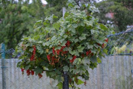 Red Currant Berries 2